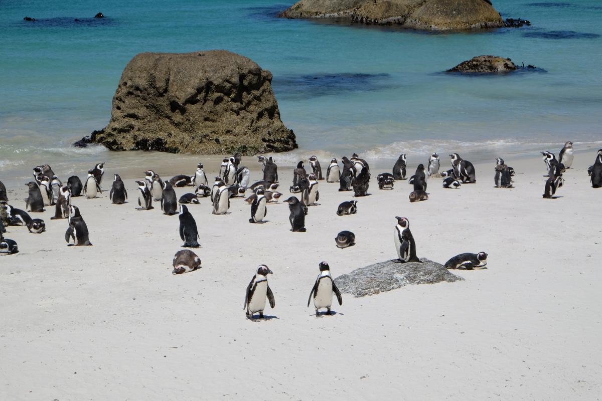 Elternzeit-Reise nach Südafrika: Pinguine am Strand von Simon's Town