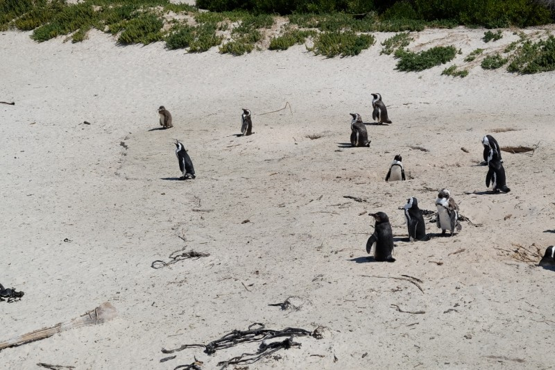 Suedafrika-Kapstadt-Pinguinkolonie-Boulders-Beach-Strand