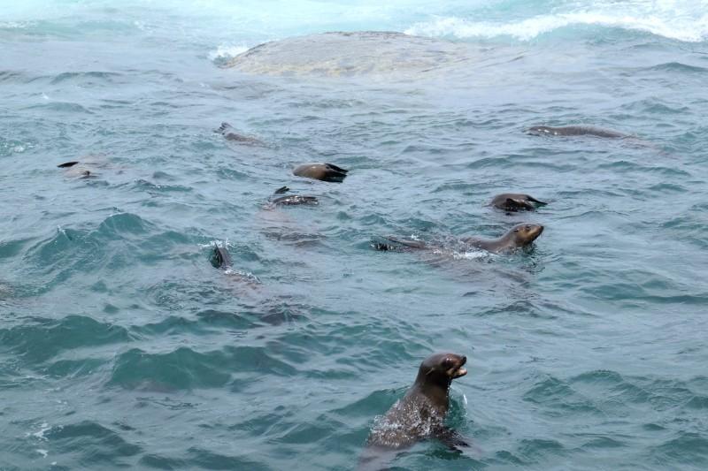 Suedafrika-Hout-Bay-Robbeninsel-Robben-im-Wasser