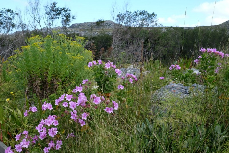 Suedafrika-Kapstadt-Silvermine-Nature-Reserve-Blumen