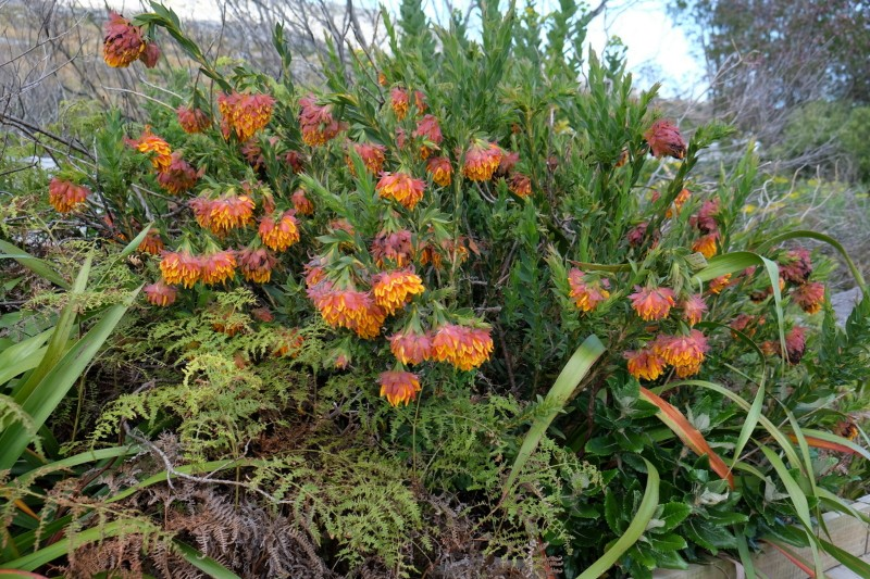 Suedafrika-Kapstadt-Silvermine-Nature-Reserve-Blumen2