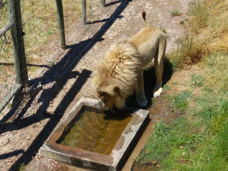 Suedafrika-Westkap-Drakenstein-Lion-Park-Loewe-trinkt