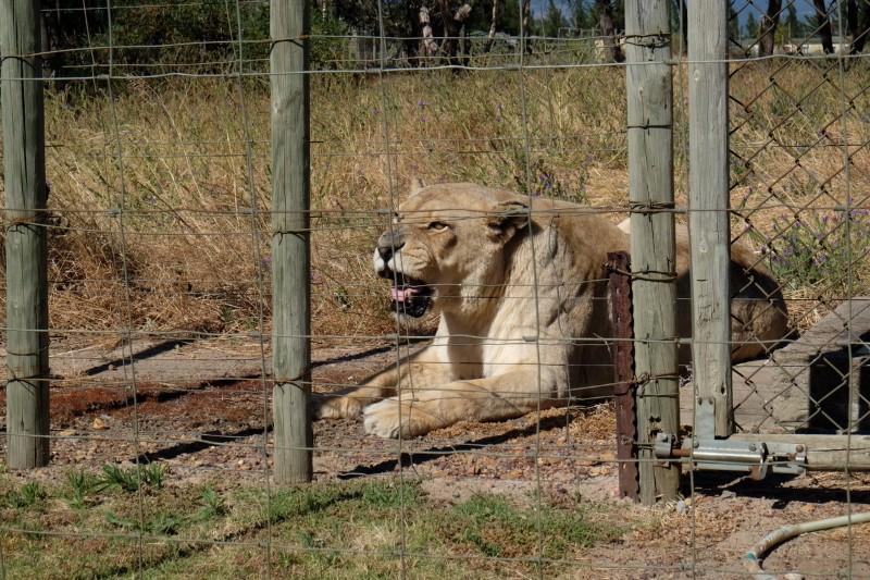 Suedafrika-Westkap-Drakenstein-Lion-Park-Loewin