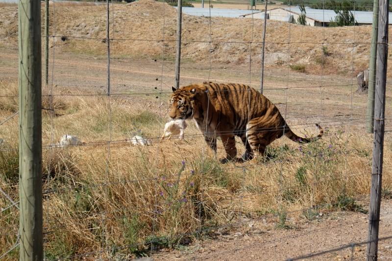 Suedafrika-Westkap-Drakenstein-Lion-Park-Tiger