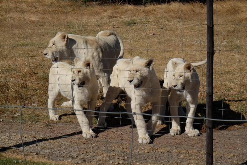 Suedafrika-Westkap-Drakenstein-Lion-Park-weisse-Loewen
