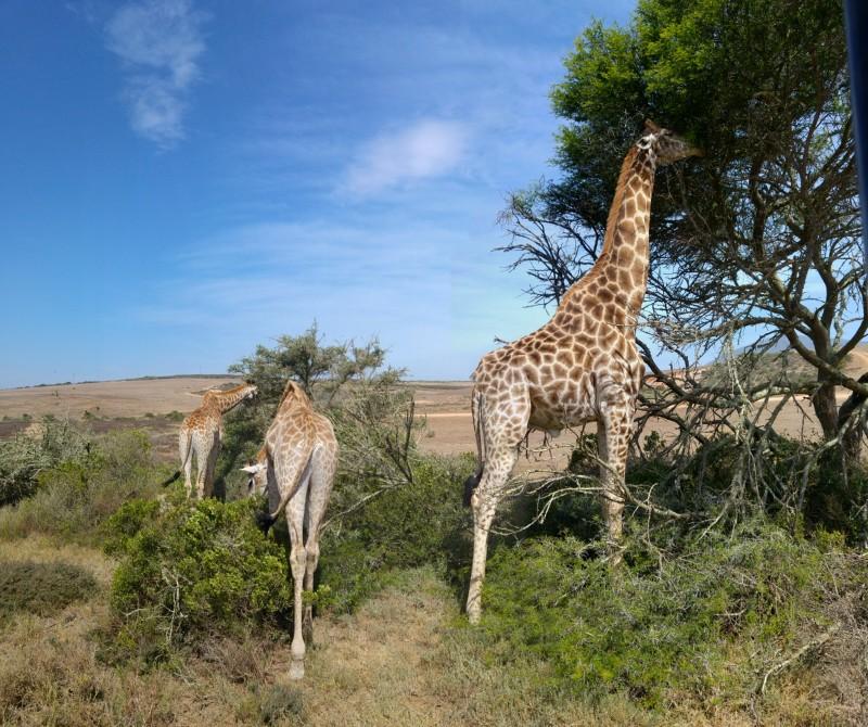 Suedafrika-Albertinia-Garden-Route-Game-Lodge-Giraffen