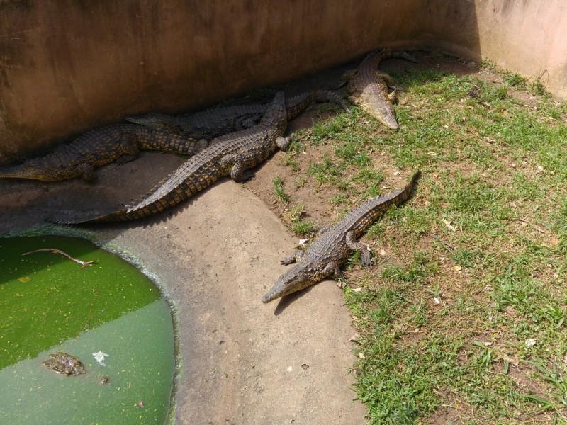 Suedafrika-Margate-Riverbend-Crocodile-Farm-Kindkrokodil