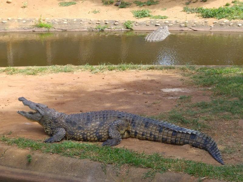 Suedafrika-Margate-Riverbend-Crocodile-Farm-Krokodil
