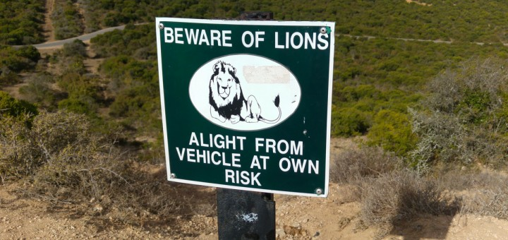 Reise nach Südafrika mit Kindern - Im Nationalpark muss man sich vor freilaufenden Löwen in Acht nehmen